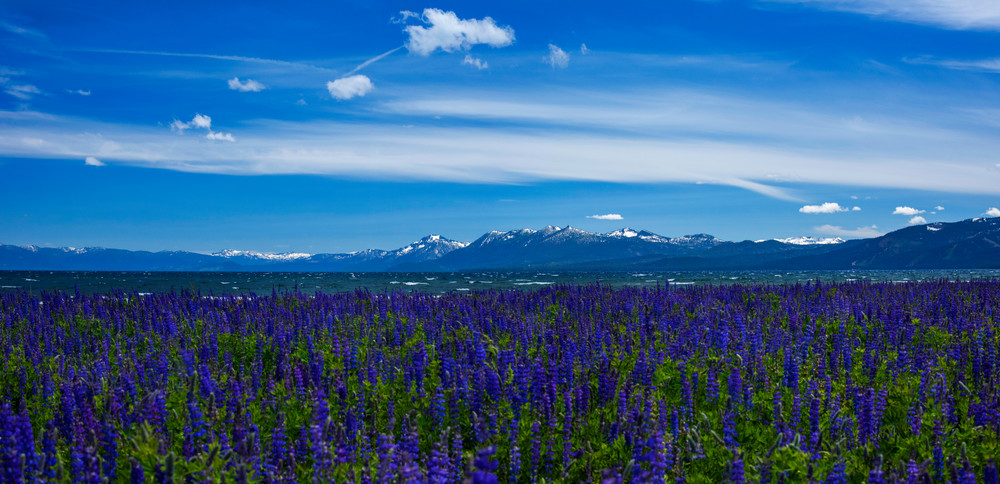 Tahoe City Lupines
