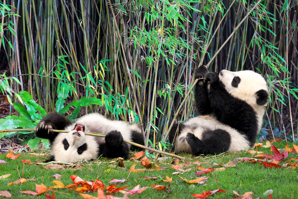 Pandas 015 Photography Art | Cheng Yan Studio