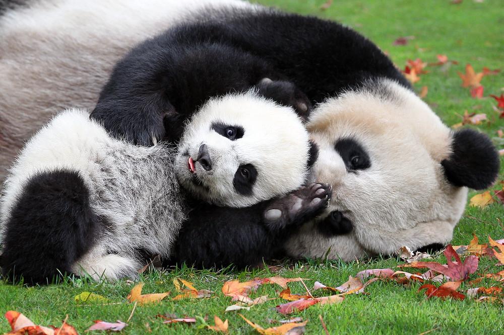 Pandas 019 Photography Art | Cheng Yan Studio