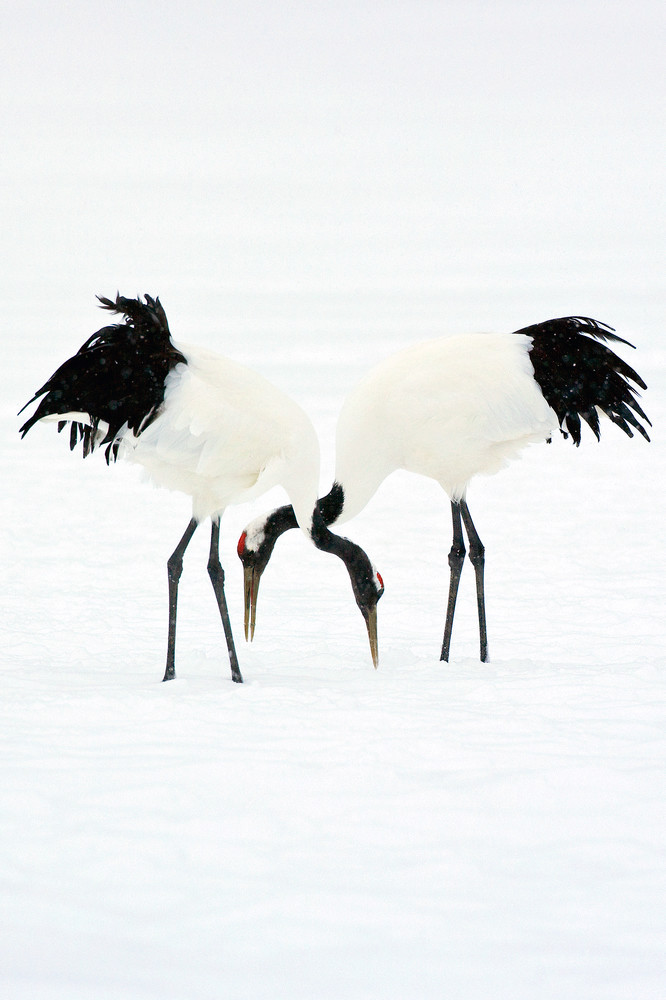Red Crowned Cranes 006 Photography Art | Cheng Yan Studio