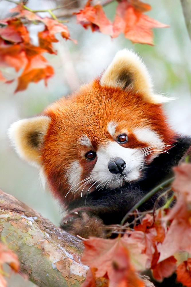 Red Pandas 001 Photography Art | Cheng Yan Studio