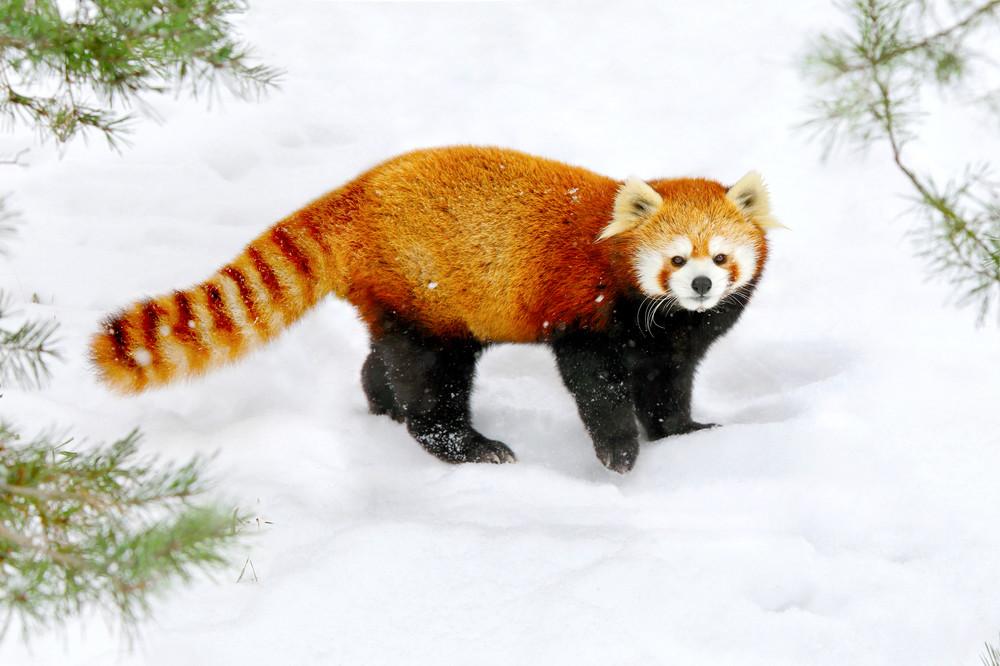 Red Pandas 005 Photography Art   Cheng Yan Studio
