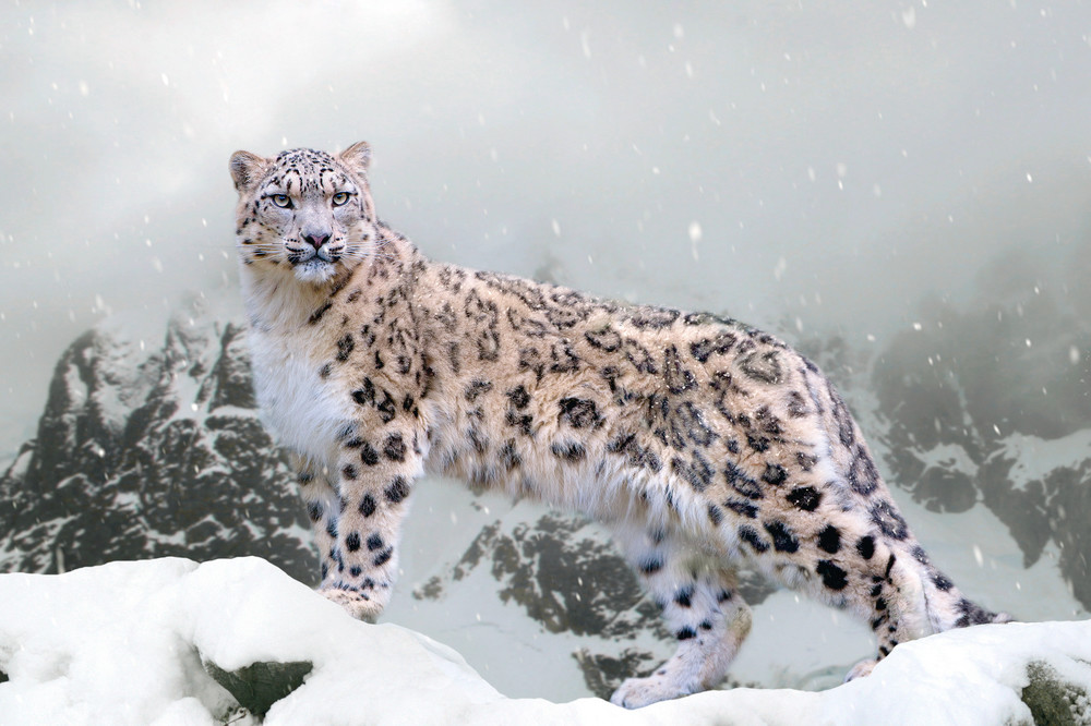 Snow Leopards 002 Photography Art | Cheng Yan Studio