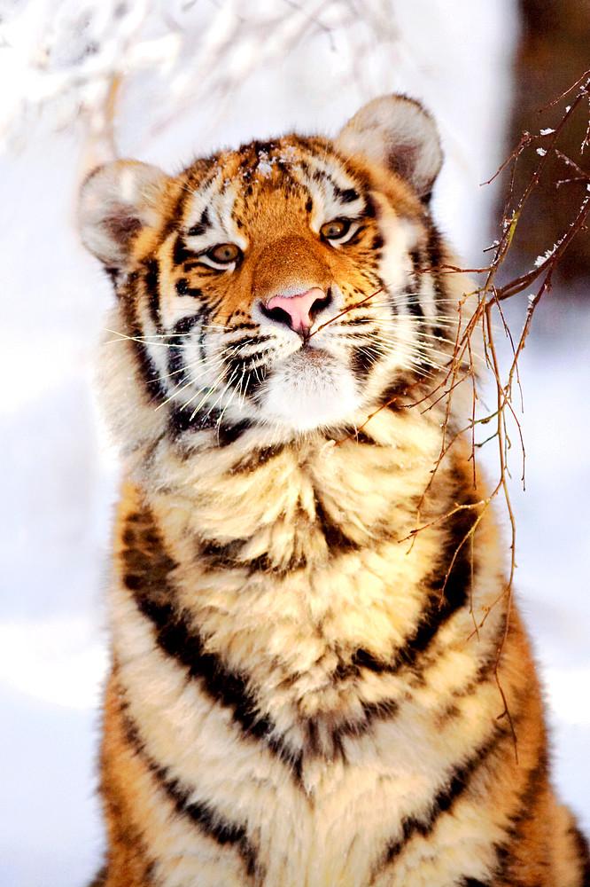 Tigers 005 Photography Art | Cheng Yan Studio