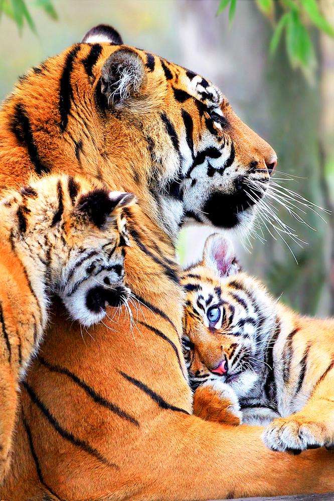 Tigers 007 Photography Art | Cheng Yan Studio
