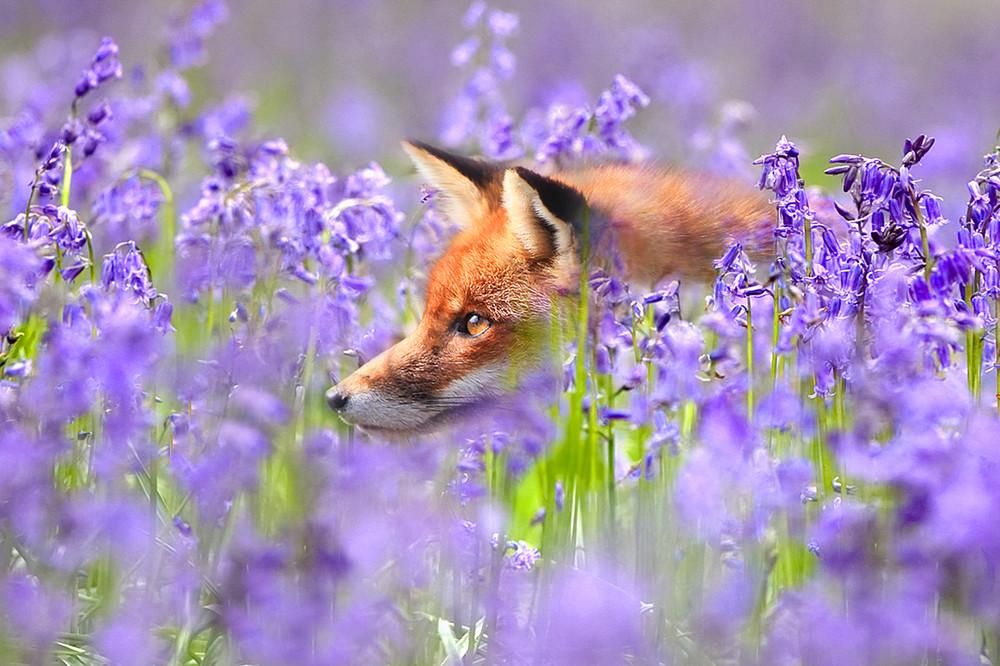 Foxes 002 Photography Art | Cheng Yan Studio