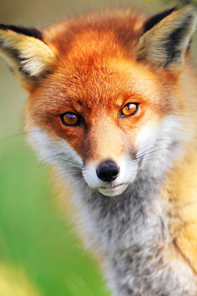 Foxes 009 Photography Art | Cheng Yan Studio
