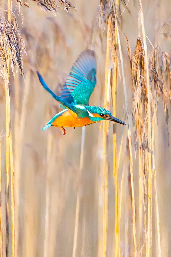 Kingfishers 009 Photography Art   Cheng Yan Studio