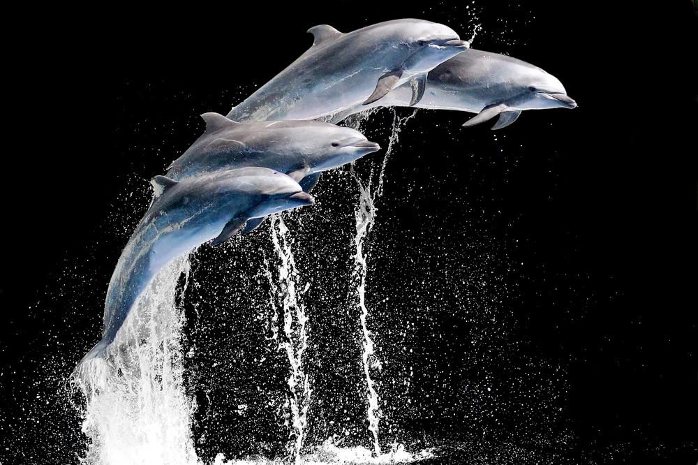 Dolphins 002 Photography Art   Cheng Yan Studio