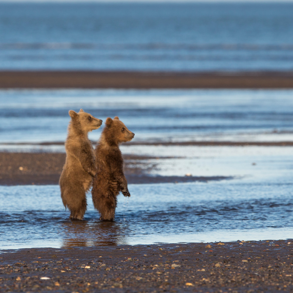 bears, brown bears, bear cubs, Alaska