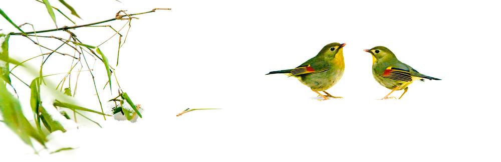 Pekin Robins And Chinese Birds 001 Photography Art   Cheng Yan Studio