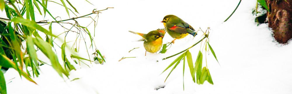 Pekin Robins And Chinese Birds 003 Photography Art | Cheng Yan Studio