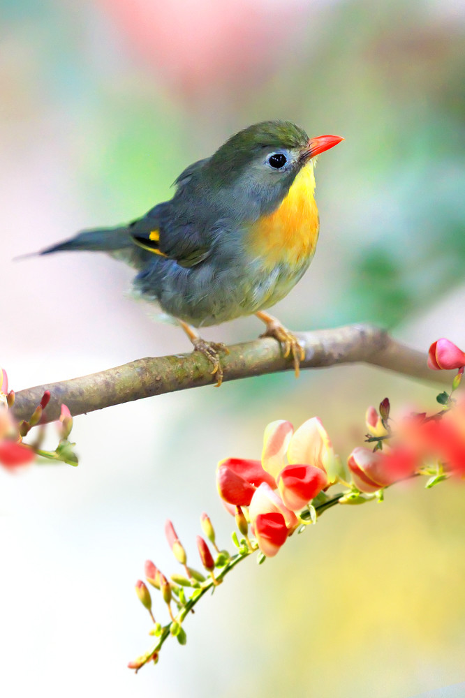 Pekin Robins And Chinese Birds 002 Photography Art | Cheng Yan Studio