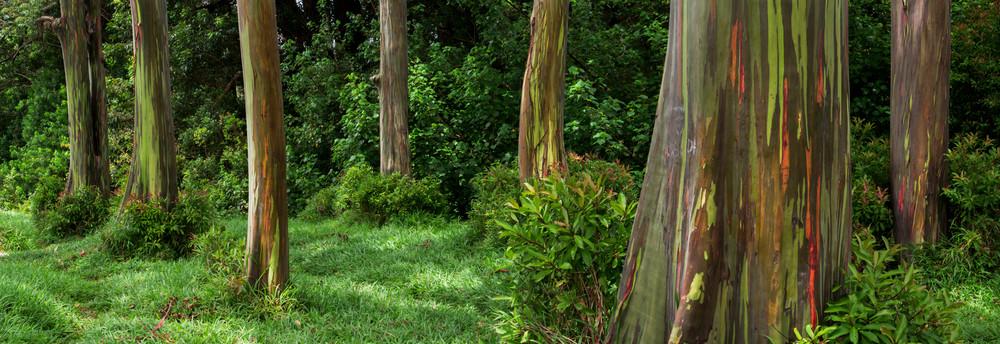 Rainbow Eucalyptus Forest, Hana Maui Fine Art Photography Print