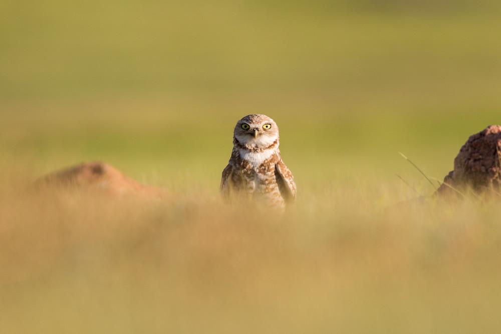 Burrowing owl peek-a-boo