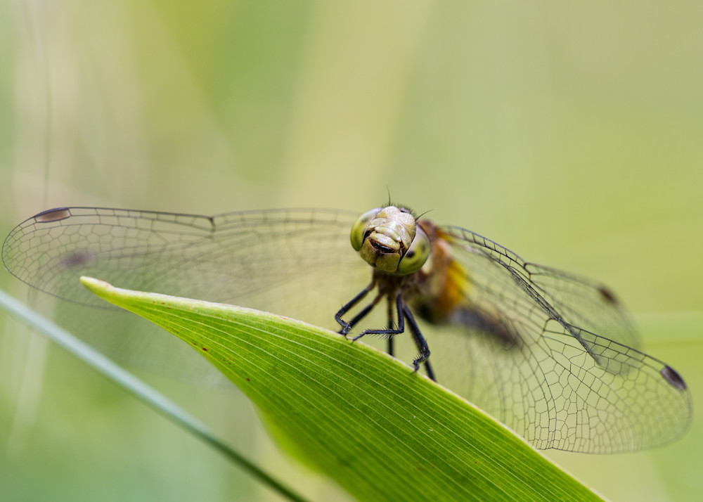 White-faced Meadowhawk #3