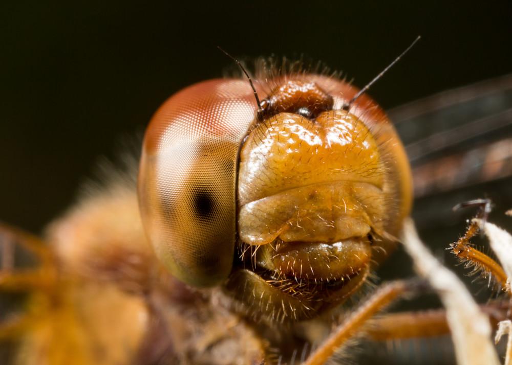 Yellow-legged Meadowhawk #2