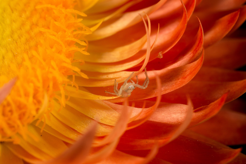 Crab Spider in a Strawflower