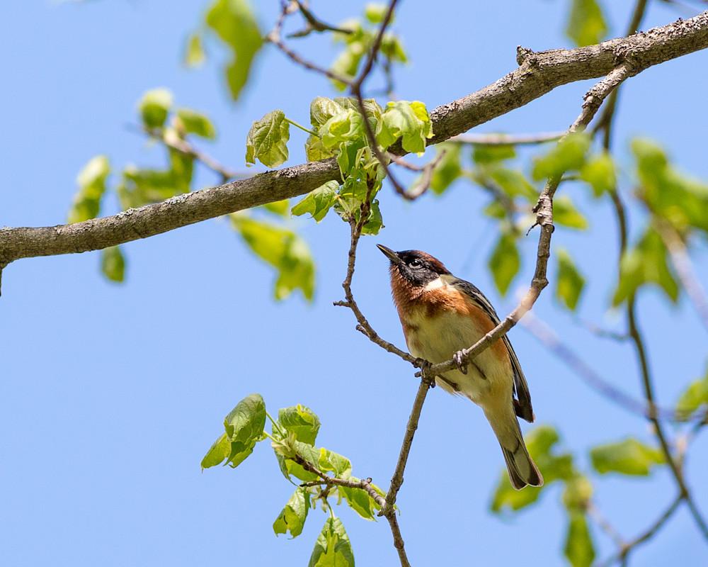 Bay-breasted warbler #1