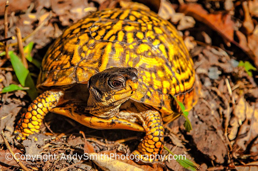 fine art photograph of eastern box turtle