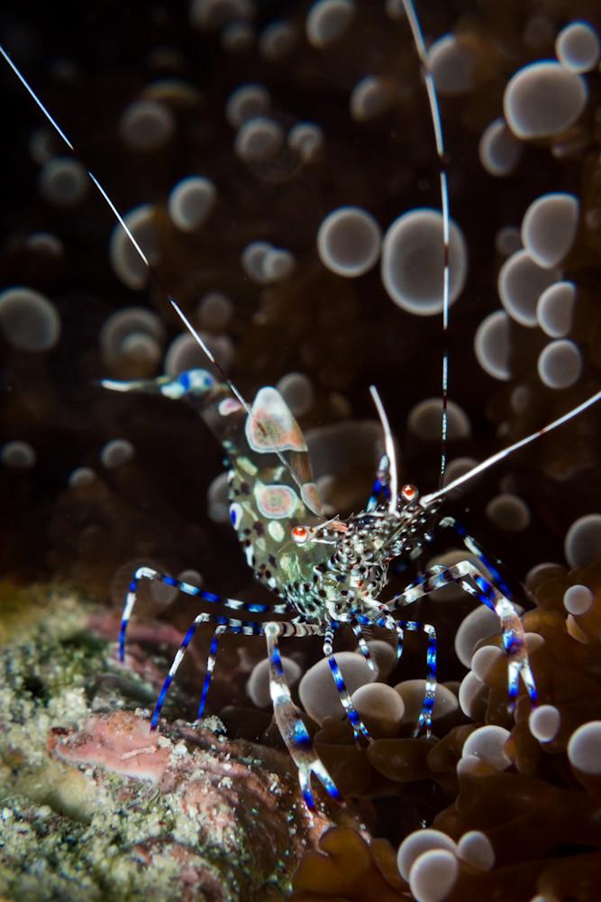 Spotted cleaner shrimp #1