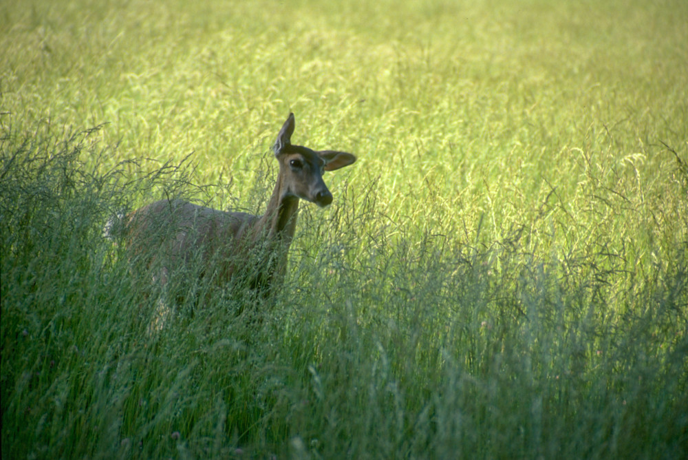 Fawn in Tall Grass