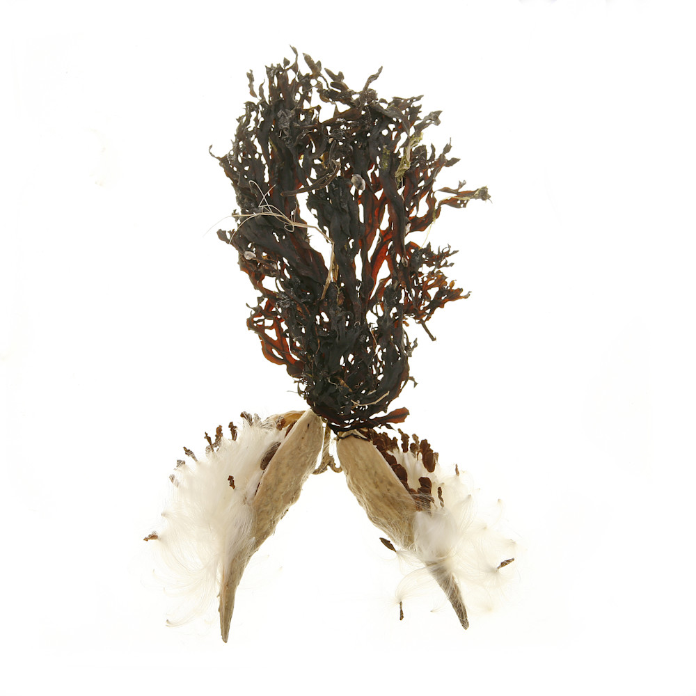Milkweed Pods and Seaweed