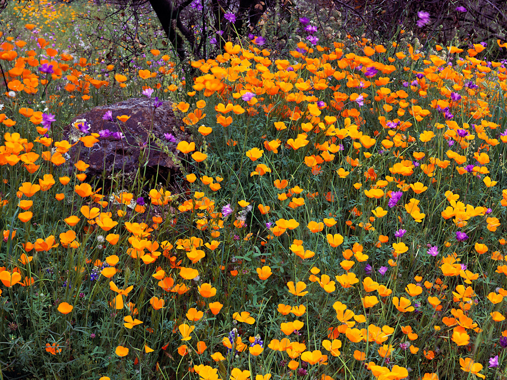 Merced Canyon Poppys