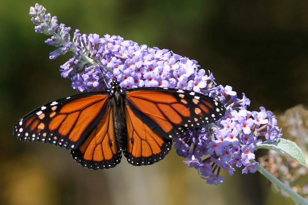 monarch, butterfly bush, butterfly