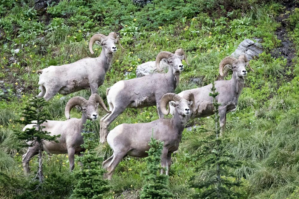 Glacier National Park, big horn sheep