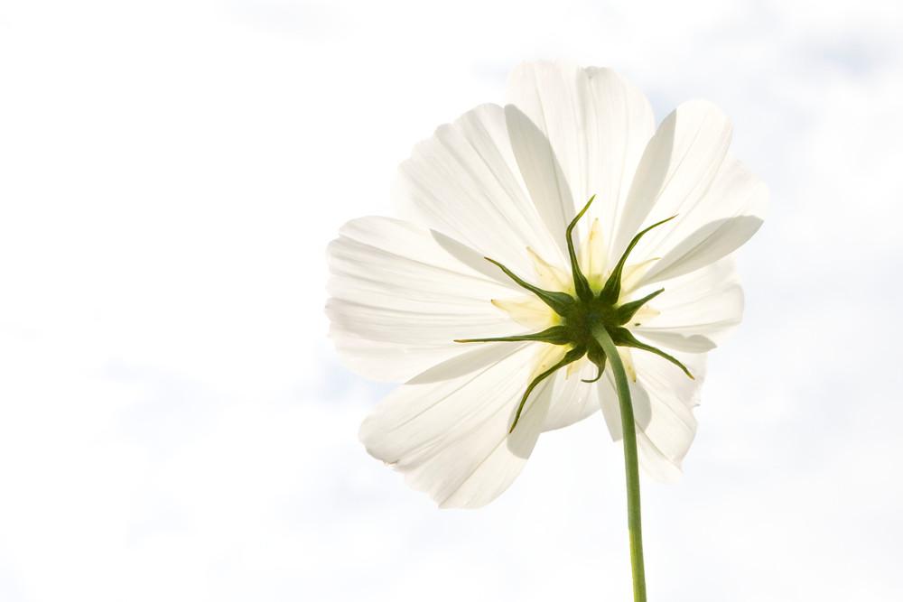 white cosmo, cosmos, flowers