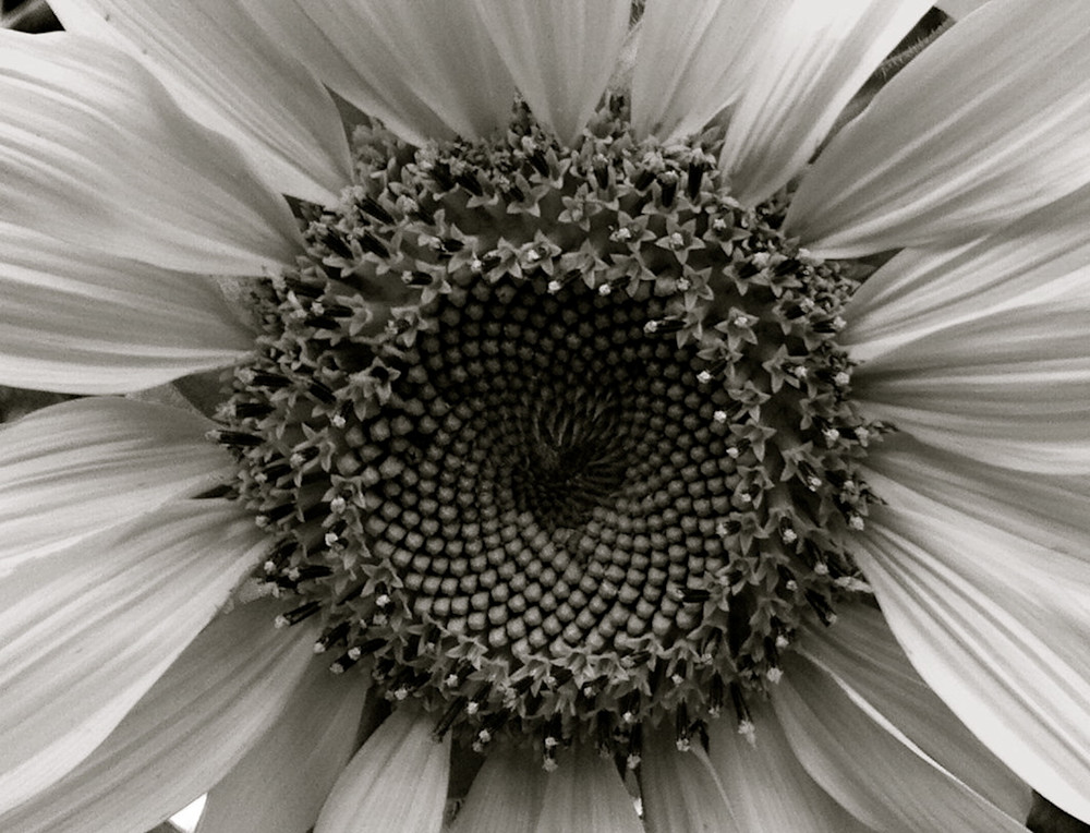 Sunflower Symmetry-BSouth, Sunflower, symmetry-in-nature, life