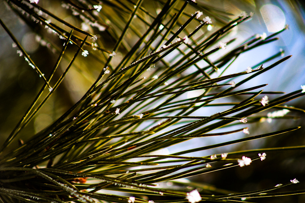 Frosty Pines-BSouth, Spring, frost on pine needles