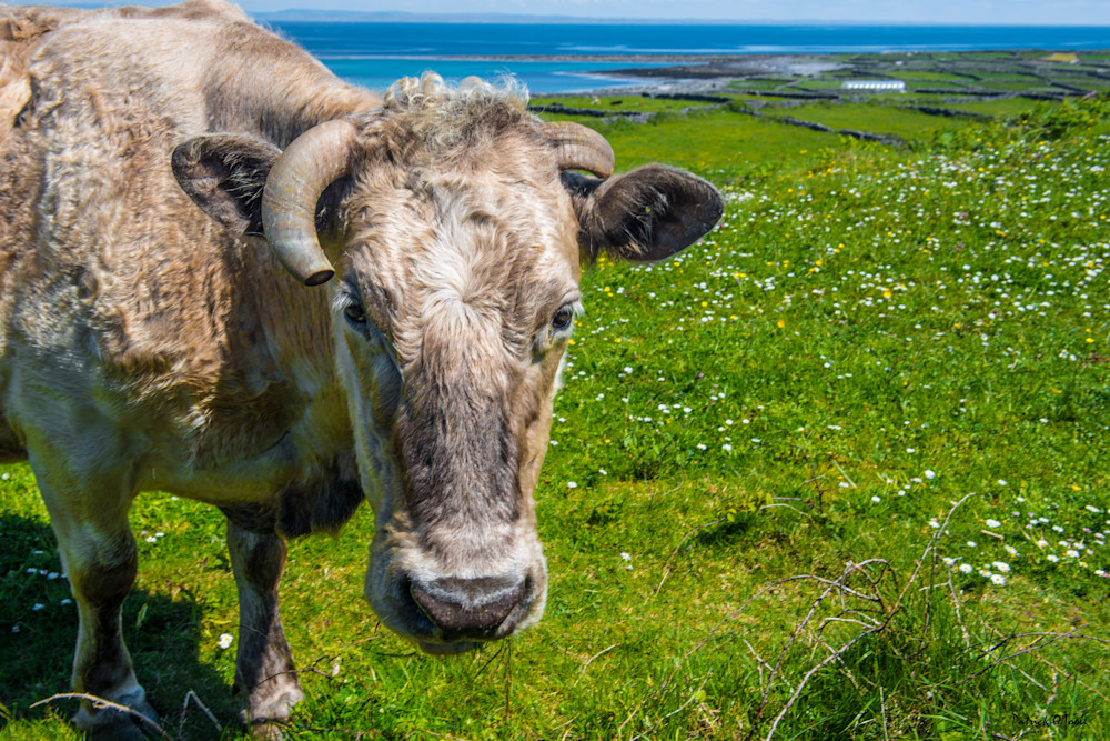 Handsome Cow Photography Art | Patrick O'Toole Photography, LLC