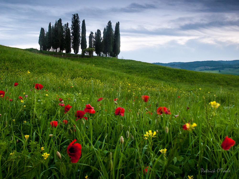 Cypress And Poppies Photography Art | Patrick O'Toole Photography, LLC