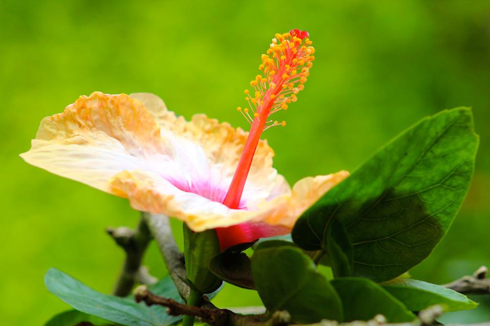 Yellow Hibiscus-BSouth, Hawaii, Maui