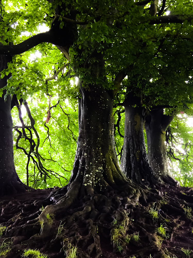 Tolkien's Ents-BSouth