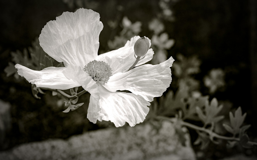 Black and White Poppy-BSouth, Poppy, California, Black-and-white, flower