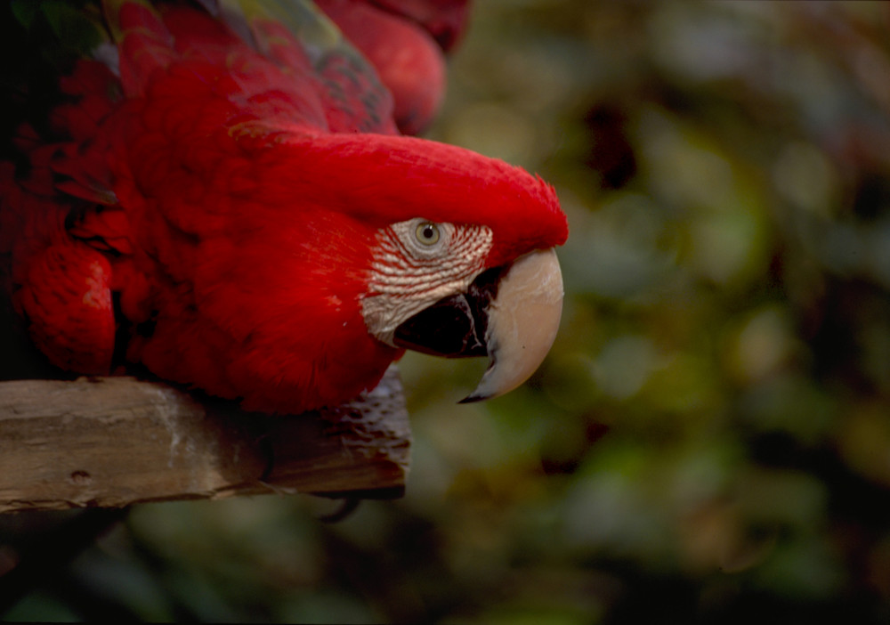 Red parrot in Loro Park in Puerta de la Cruz, Tenerife, Canary Islands