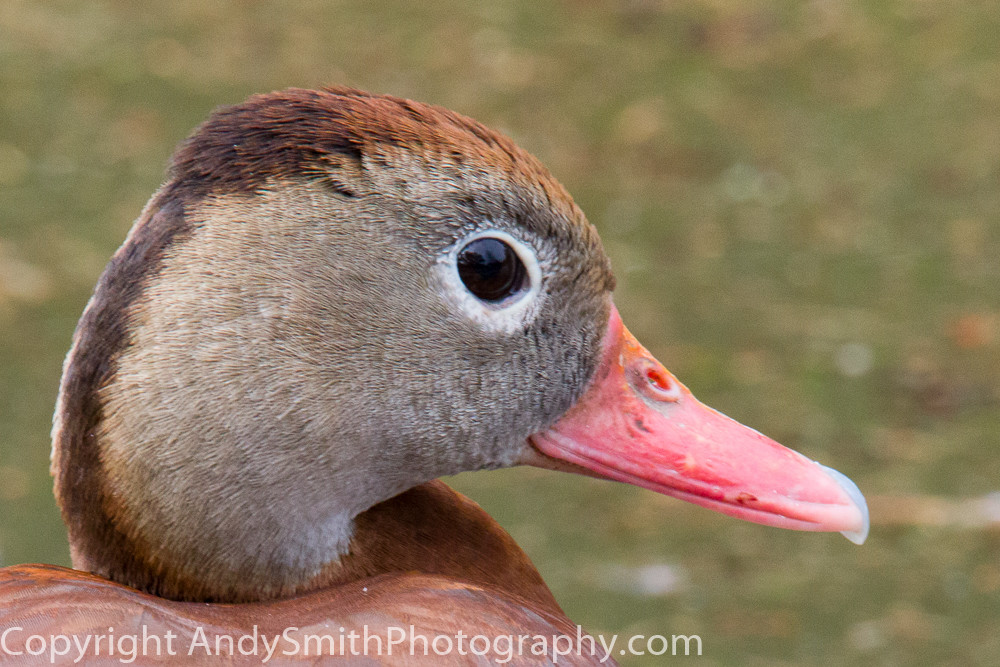 fine art photograph, portrait of Black-bellied Whistling Duck