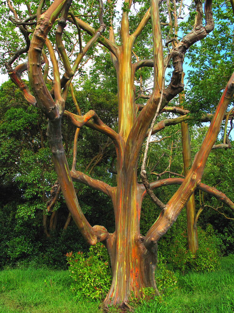 rainbow eucalyptus tree maui by scott squires limited edition print