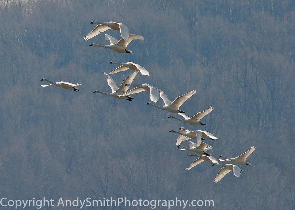 fine art photograph of Tundra Swans in Flight at Sunrise