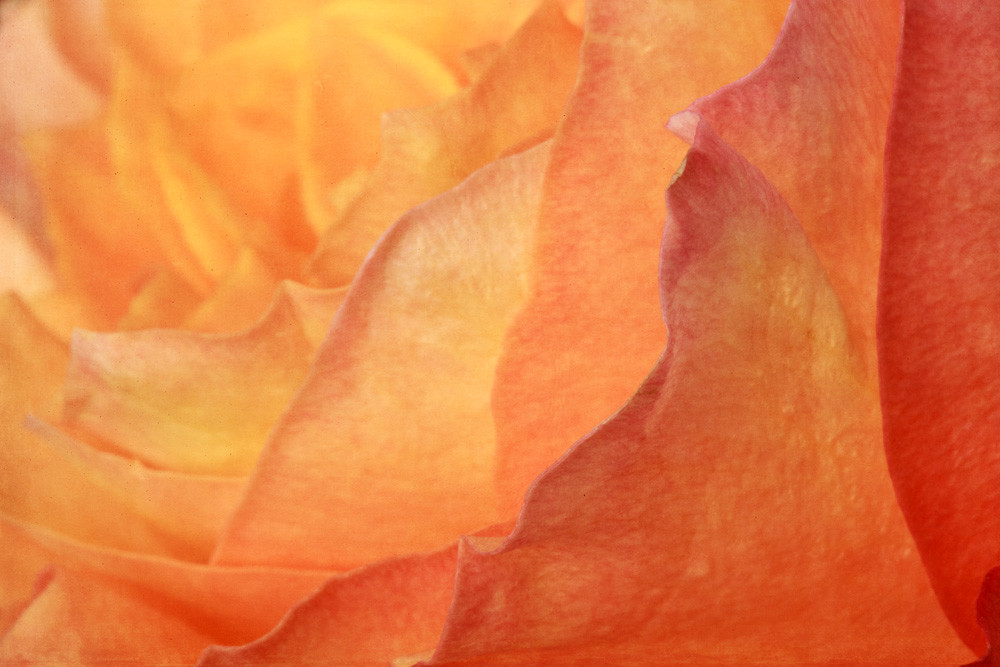 Peak Photograph of a Flower's Petals | Susan Michal Fine Art