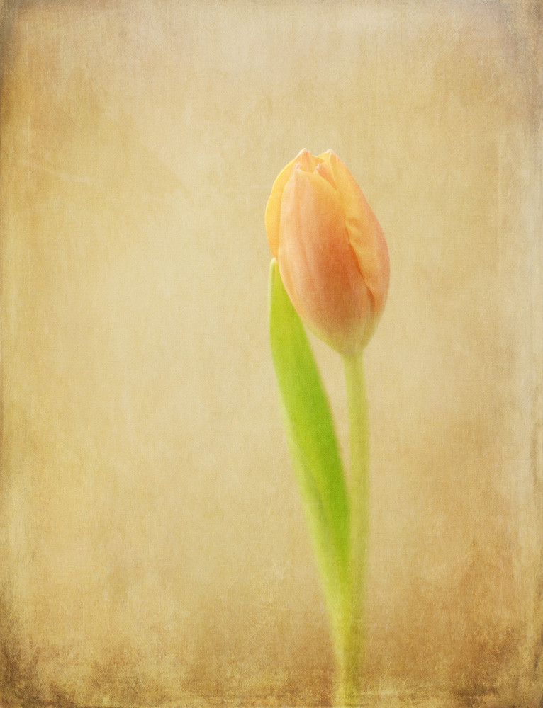 Unforgettable   Photograph of a Tulip   Susan Michal Fine Art