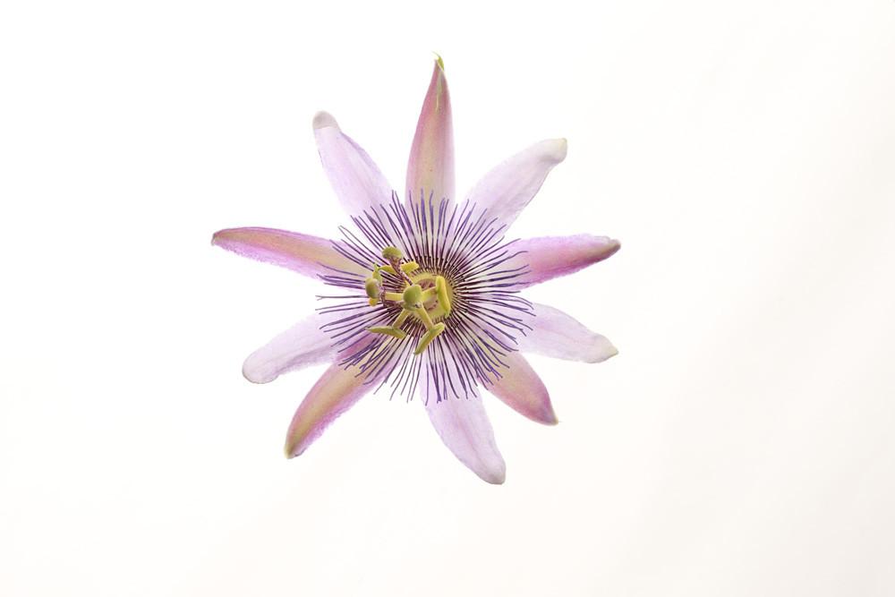 Passionate | Photograph of a Passion Flower | Susan Michal Fine Art