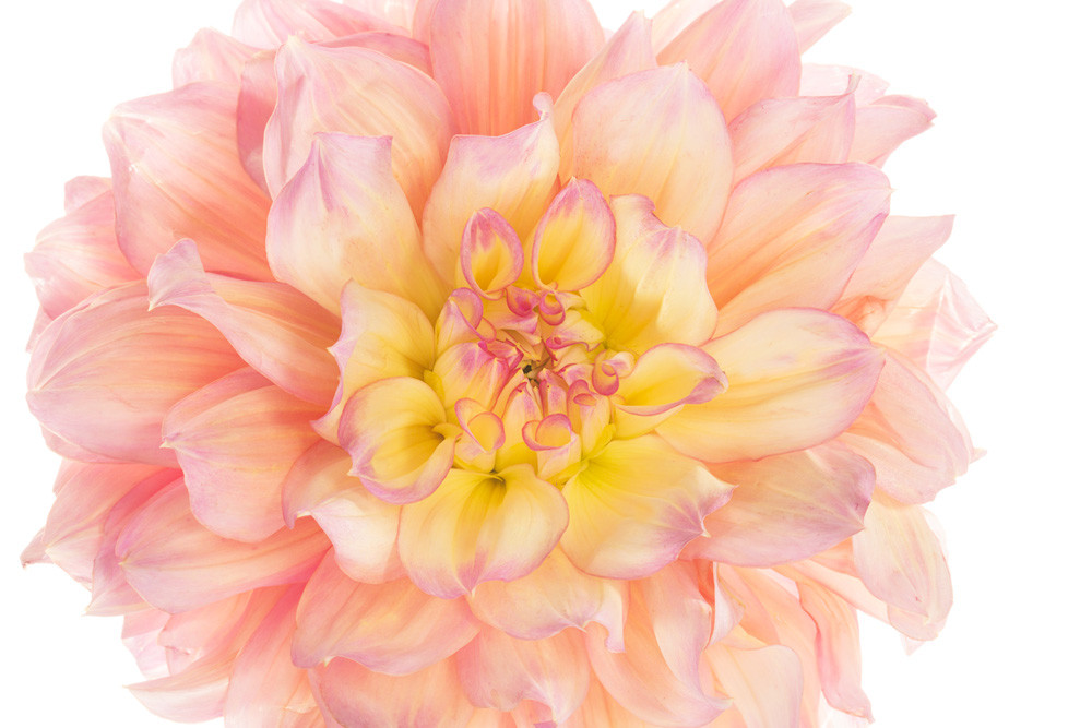Delightful | Photograph of a Dahlia | Susan Michal Fine Art