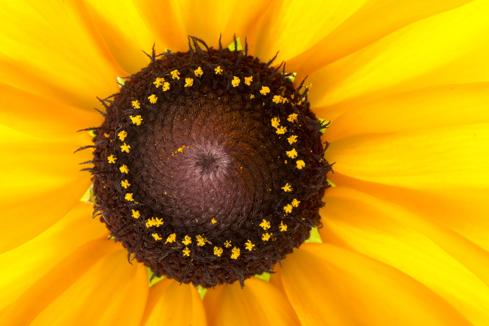 Radiance | Photograph of a Sunflower | Susan Michal Fine Art