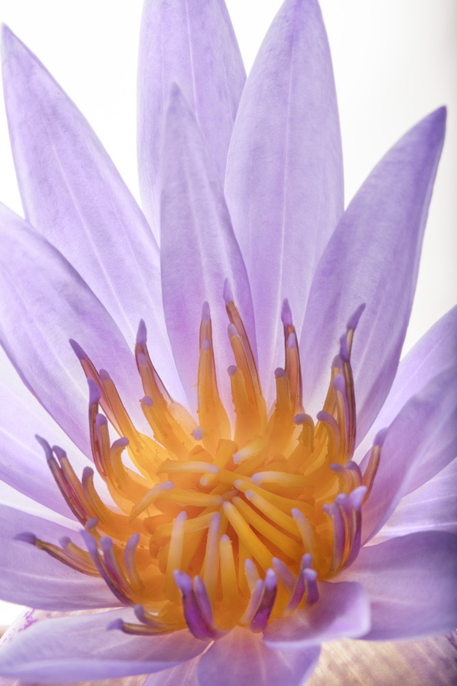 Bewitching   Photograph of a Water Lily   Susan Michal Fine Art