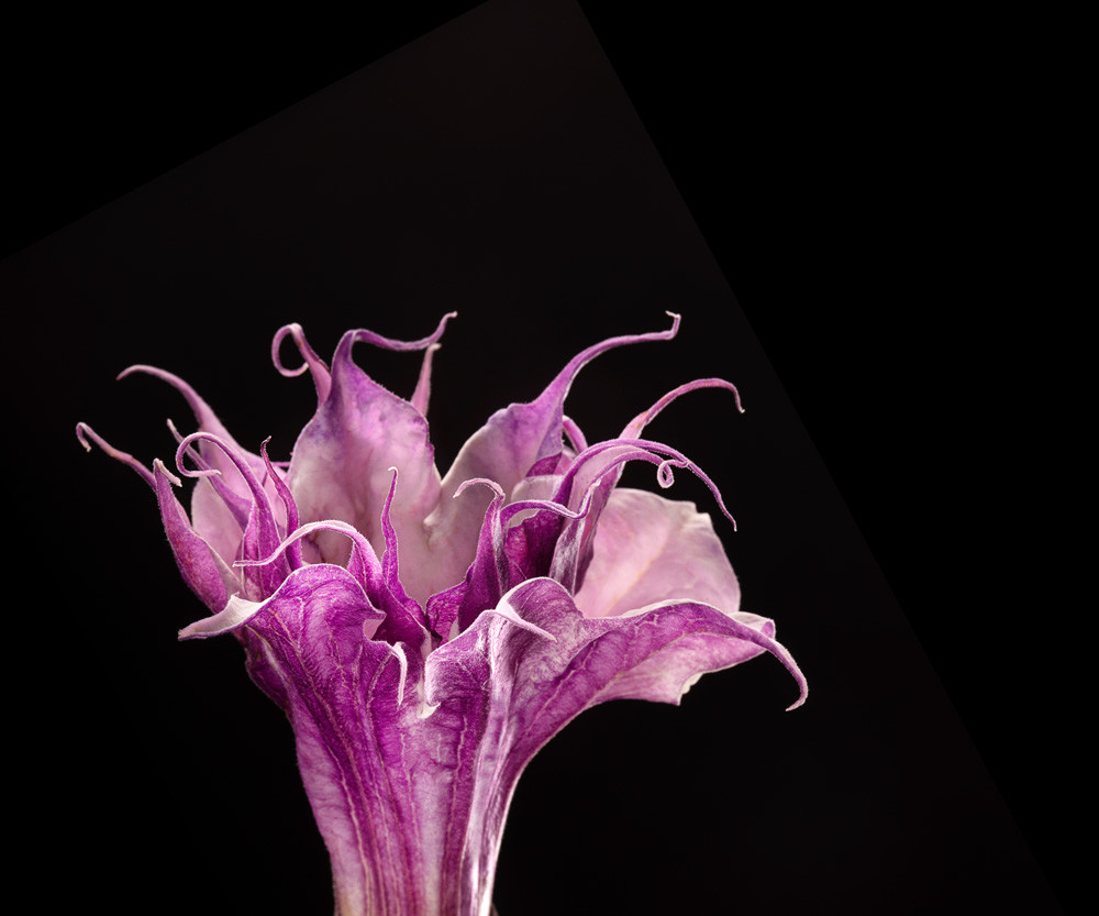 Relentless | Photograph of a Devil's Trumpet | Susan Michal Fine Art