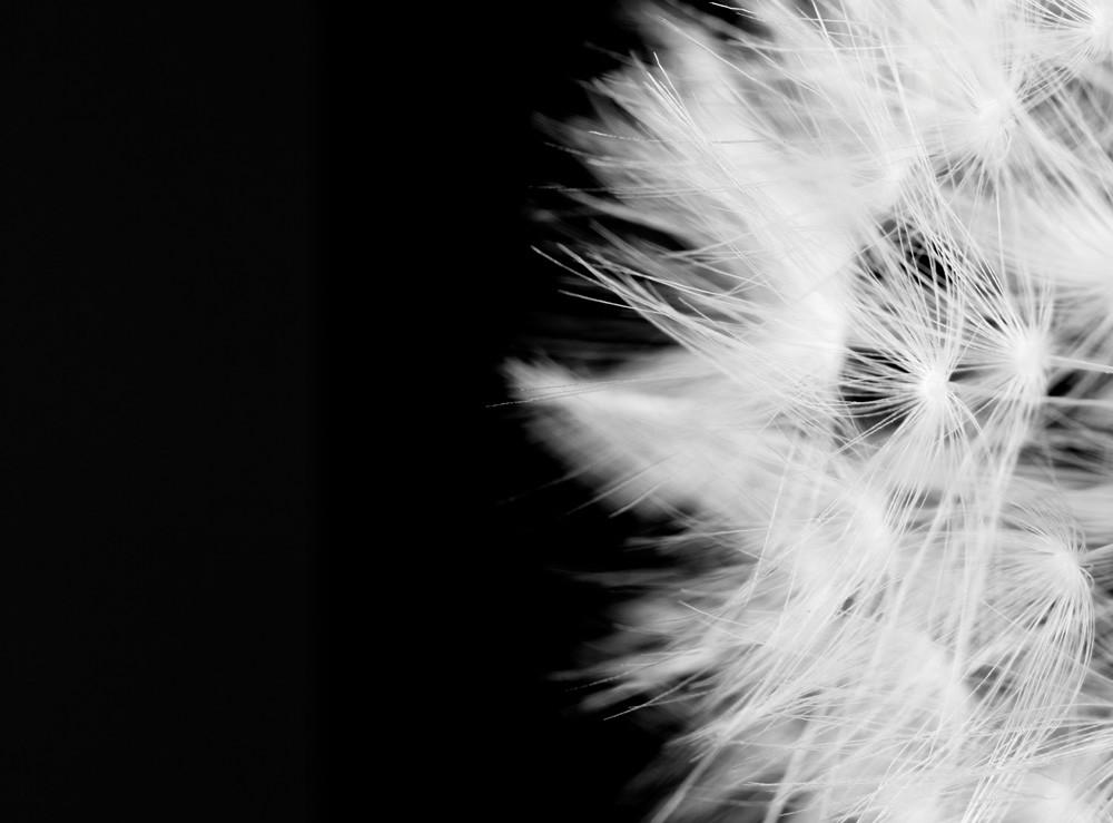 Day Dream Photograph of a Dandelion | Susan Michal Fine Art